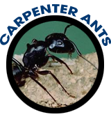 Carpenter Ants Exterminator Albany Pest Control East Greenbush Schenectady How To Get Rid Of